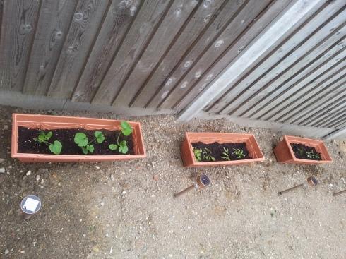 My veg at 4 weeks